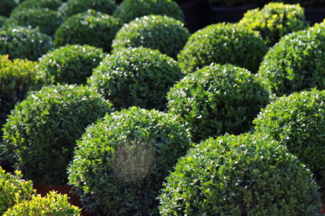 Buxus sempervirens Kugel