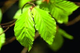 Rotbuchen (Fagus sylvatica) Blätter