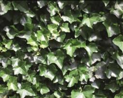 Hedera hibernica Efeuhecke Detail 1