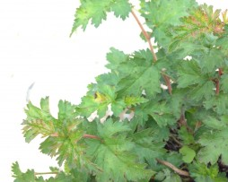Niedrige Kranzspiere (Stephanandra incisa 'Crispa')