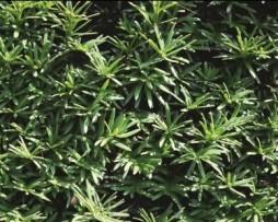 heimische Eibe: Taxus baccata