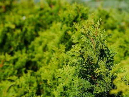 Lebensbaum Thuja Smaragd Detail