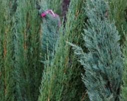 Wacholder / Juniperus