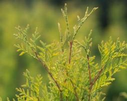 Lebensbaum / Thuja