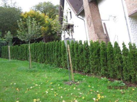 Lebensbaum Thuja Smaragd als Hecke