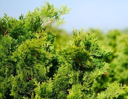Lebensbaum Thuja Smaragd (Thuja occidentalis 'Smaragd')