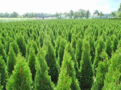 Lebensbaum Thuja Smaragd im Feld