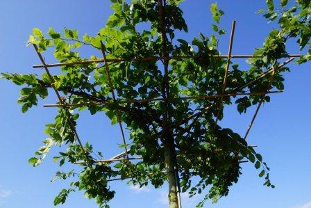Hainbuche (Carpinus betulus) als Dachform