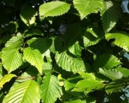 Säulenhainbuche: Carpinus betulus Fastigiata
