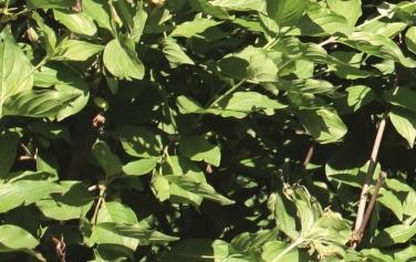 Kornelkirsche (Cornus mas)