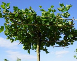 Dachplatane (Platanus acerifolia)