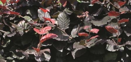 Blutbuche: Fagus sylvatica Atropunicea