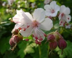 Balkan-Storchschnabel (Geranium macorrhizum 'Spessart')