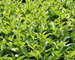 Schwarzgrüne Liguster (Ligustrum vulgare Atrovirens)
