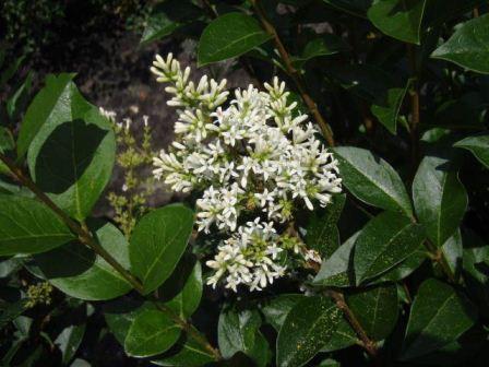 Liguster (Ligustrum ovalifolium) Schnitthecke mit Blüten