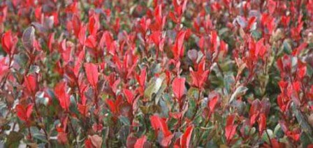 Glanzmispel (Photinia fraseri 'Red Robin')