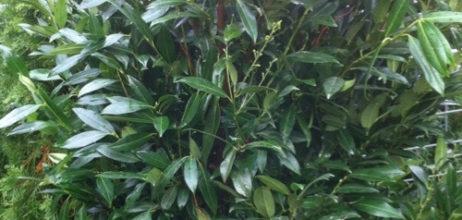 Kirschlorbeer Herbergii (Prunus laurocerasus Herbergii)
