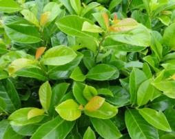 Kirschlorbeer Etna Prunus-laurocerasus 'Etna'