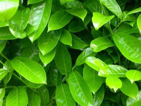Großblättriger Kirschlorbeer 'Rotundifolia'