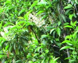 Kirschlorbeerhecke mit der Portugiesischen Lorbeerkirsche