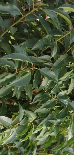 portugiesischer kirschlorbeer prunus lusitanica angustifolia. Black Bedroom Furniture Sets. Home Design Ideas