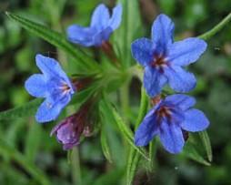 Purpurblaue Steinsame (Buglossoides pupurocaerulea)