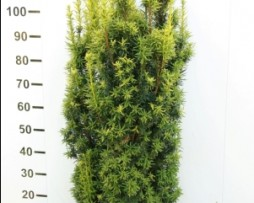 Säuleneibe: Taxus baccata aurea David