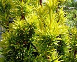Gelbe Säuleneibe: Taxus-baccata 'Fastigiata Aurea'