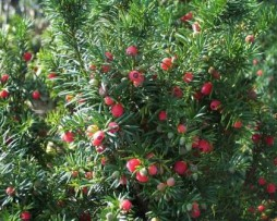 Bechereibe: Taxus-media 'Hicksii'