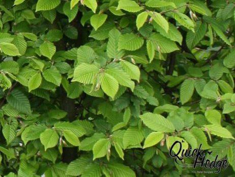 Hainbuchenhecke (Carpinus betulus)