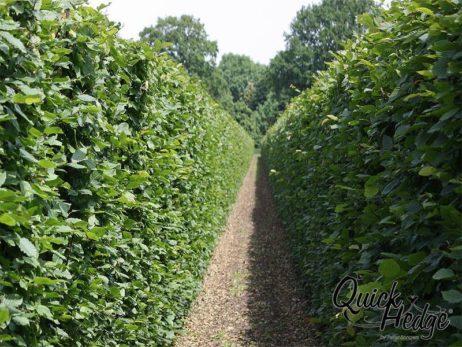 Hainbuchenhecke Quick Hedge