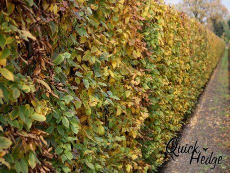 Hainbuchenhecke Quick Hedge carpinus_betulus_herfst