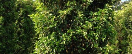 Portugiesische Lorbeerkirsche (Prunus lusitanica 'Angustifolia')