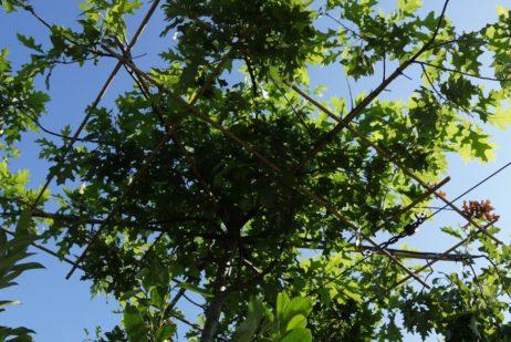 Sumpf-Eiche (Quercus palustris)