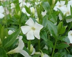 Weißblühende Bodendecker Immergrün (Vinca minor 'Alba')