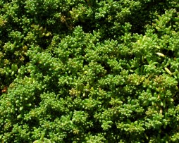 Sedum Album 'Coral Carpet'- Rotmoos-Mauerpfeffer